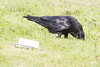 Raven lard preference test-Raven near but does not touch lard. Some displacement activity such as picking up and tossing grass.