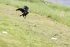 Raven lard preference test-raven lands near lard.