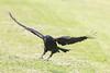 Raven lard preference test-Raven landing.