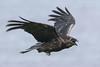 Raven lard preference test-Raven flying away.