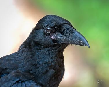Juvenile Raven Portrait