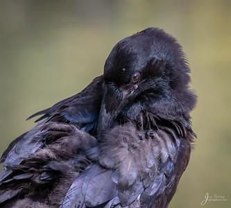 Juvenile Raven Napping