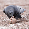Raven eating meat on the ground.