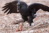 Raven leaping up from a piece of meat on the ground. One wing tip out of frame. Raven has grabbed a bit from the meat.
