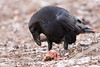 Raven with a piece of meat on the ground.