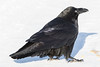Raven on snowy road, nictating membrane partially covering eye.