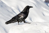 Raven walking on snowbank with nictating membrane almost closed over eye.