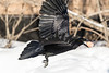 Raven in flight with an egg in beak, one wingtip out of frame, other wingtip out of focus.