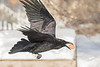 Raven in flight, egg in beak, one wing up with wingtip out of frame. Garbage box in background.