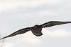 Backlit raven flying towards camera, beak turned. Wingtips out of frame.