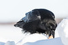 Raven on snowbank picking up egg with beak.