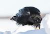 Raven on snowbank picking up egg with beak.