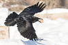 Raven in flight, egg in beak, wings both curved, tail spred, close to snow.