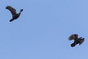 Two ravens in flight. They are chasing a third raven which is not shown. Cropped image.