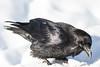 Raven on snow, snow on beak.