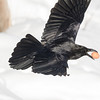 Raven in flight with egg in beak, one wing up, wingtip out of frame, close to snow.
