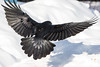 View from behind of raven about to land. Both wings out. Wingtips out of frame. Tail spread.