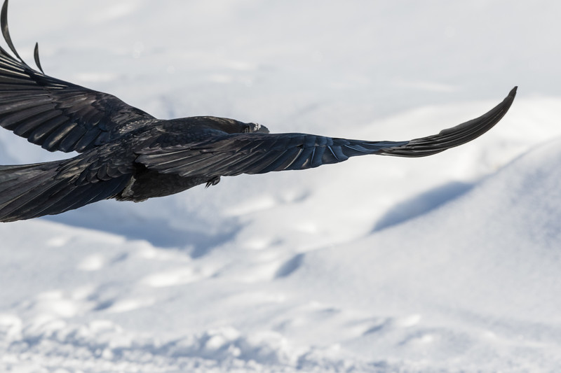 View from behind to side of raven in flight with wings outstretched. Tail and one wingtip out of frame.
