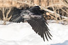 Raven in flight, egg in beak, wings down, close to snow.