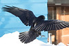 View of raven from behind coming to land, tail spread, wings bent.