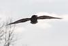 Backlit raven flying towards camera, beak turned.