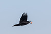 Raven in flight wing up with egg in beak. Cropped image.