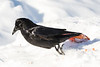 Raven leaping off snowbank.