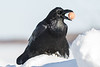 Raven on snowbank with brown egg in beak.