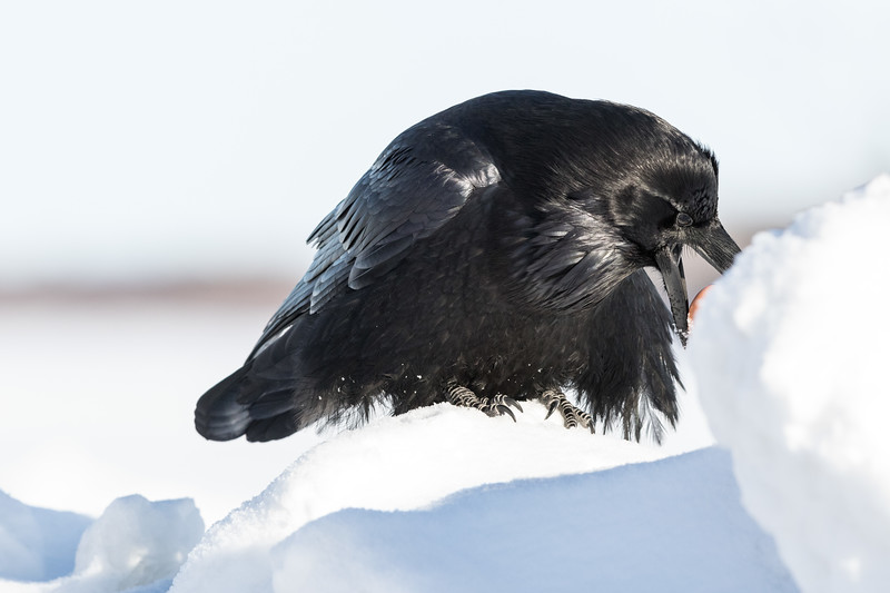 Raven on snowbank preparing to cache an egg.