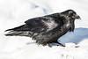 Raven on snow, snow on beak. Head up.