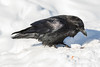 Raven on snow, snow on beak.