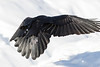 View of rear of raven flying close to snow, one wing out. One wingtip out of frame.