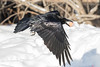 Raven flying with egg in beak, wings down. Low over snow.