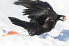 Side view of raven taking off with egg in beak. Wing not in focus.
