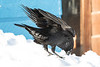Raven cleaning beak in snow. Nictating membrane over eye.