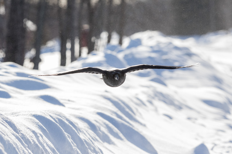 Backlit raven flying towards camera. Some snow in the air.