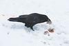 Raven enjoying some beef liver.