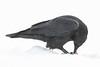 Raven in falling snow. Feeding.