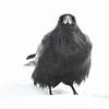Raven head on in snow.