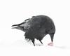 Raven in falling snow. Feeding. Picking up meat with beak.