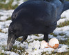 Raven eating on the ground.