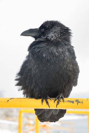 Raven on railing at public docks site.