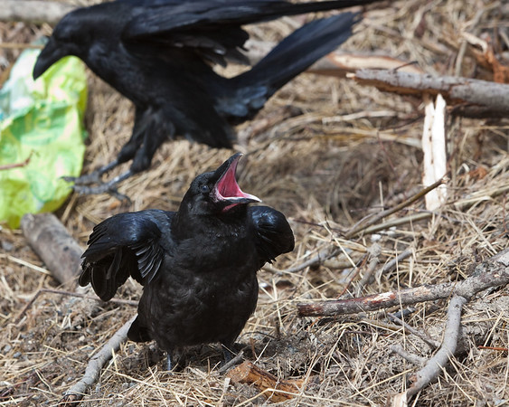 Juvenile raven with mouth open as adult (not in focus) lands behind)