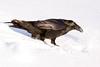 Raven walking in soft snow