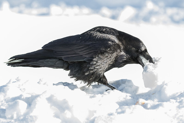 Raven enjoying some lard in Moosonee on a cold afternoon.