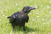 Juvenile raven on the grass.