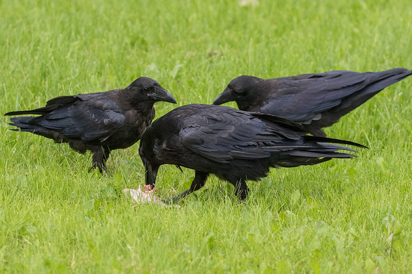 Adult raven eating meat while two juveniles watch.