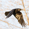 Raven in flight, one wing fully down.