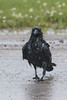 Wet raven crossing the road.
