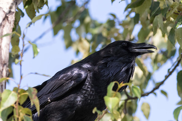 Raven in a tree; beak partially open.
